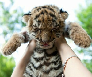 baby tiger, animal, and instagram image