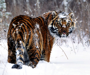 tiger and snow image