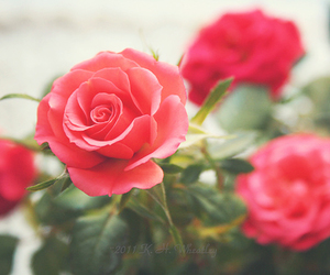 rosa, roses, and time image