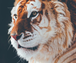 africa, roar, and tigre image