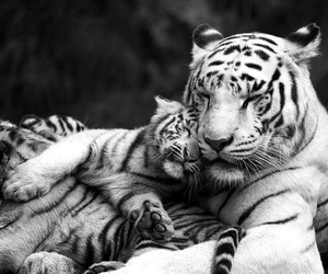 animal, feline, and white tiger image