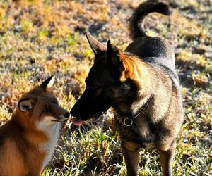 animal, dog, and fox image