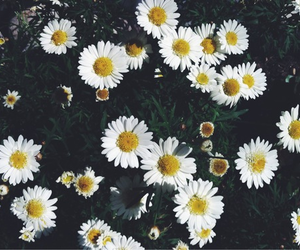 flowers, daisies, and pretty image