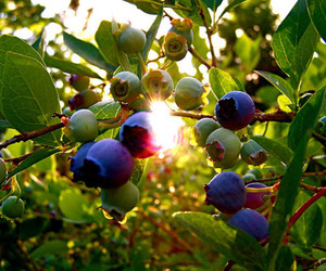 blueberries, light, and nature image
