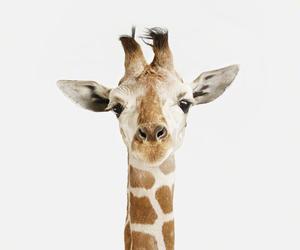 giraffe, animal, and black and white image