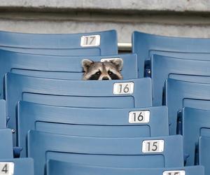 blue, raccoon, and animal image