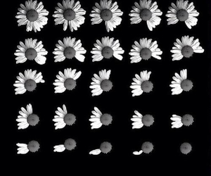 flowers, daisy, and black and white image