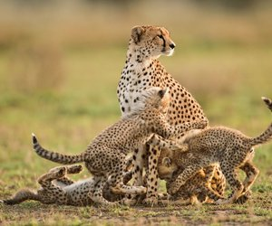 animals, baby, and guepard image