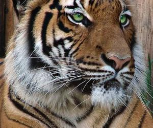 big cats, tiger, and tigers image