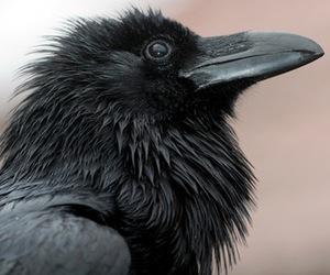 bird, schwarz, and black image