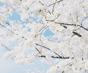 white, blue, and cherry blossom image