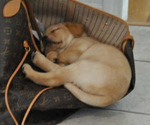 bag, designer, and puppy image