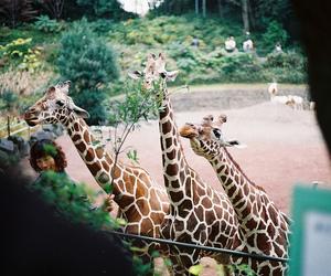 giraffe, animal, and zoo image