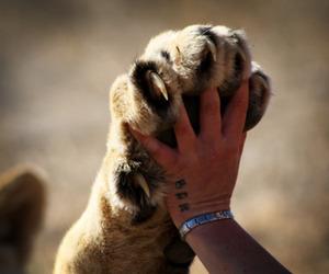 animal, lion, and hand image