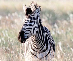 black, tumblr, and zebra image