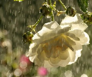 flores, rain, and rose image