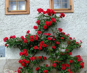 beautiful, house, and roses image