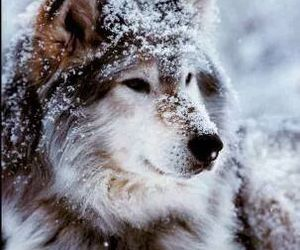 wolf, winter, and snow image