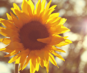 flower, yellow, and sunflower image
