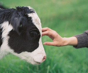animals, cow, and nature image