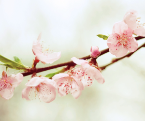 pink, blossom, and flowers image