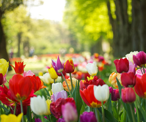 flowers, tulips, and colours image