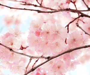 cherry blossom, cherry blossoms, and flowers image
