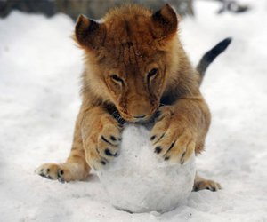 baby, baby tiger, and snowball image