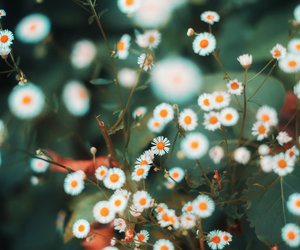 daisies, berlin, and flowers image