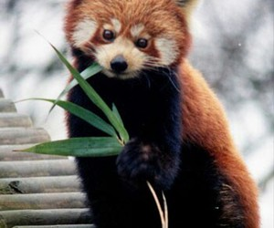 beautiful, Red panda, and love image