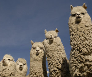 alpacas, fluffy, and white image