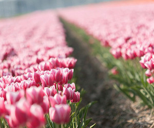 tulips, pink, and flowers image