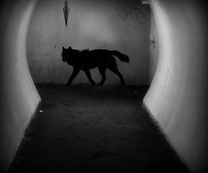 wolf, black and white, and photography image