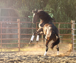 horse and lusitano image