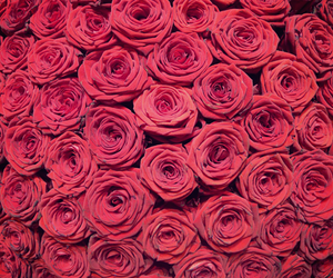 roses, flowers, and pink image