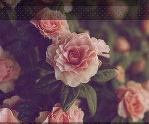 roses, backgrounds, and wallpaper image