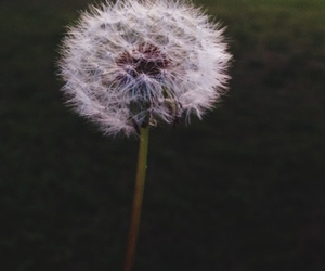 flowers, beautiful, and dandelion image