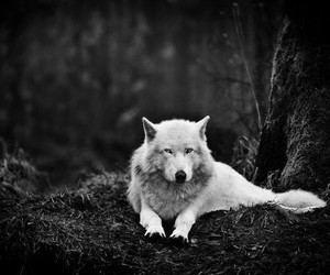 blanco, wolf, and bosque image