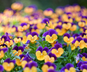 flower field, flowers, and nature image