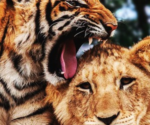 animal, tiger, and lion image