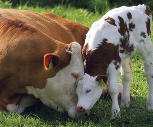 cow, cows, and animal image