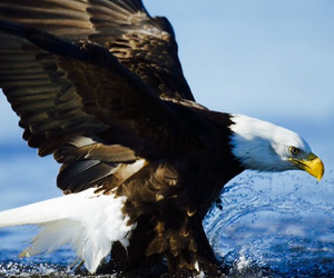 beautiful, royal eagle, and sea image