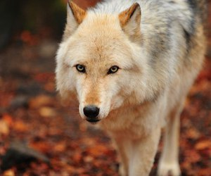 animal, wolf, and autumn image