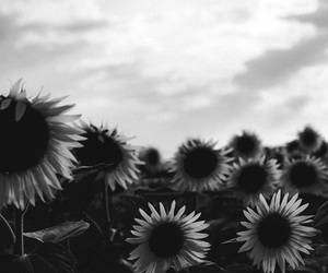 b&w, flowers, and sunflowers image