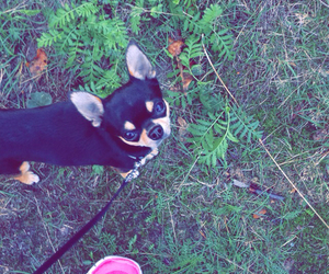 chihuahua, workout, and fall image