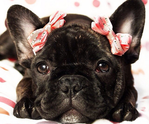 dogs and french bulldog image