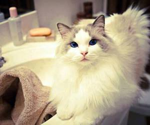 cat, cute, and blue eyes image