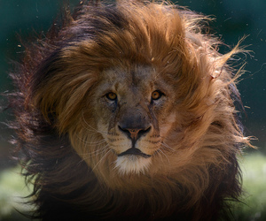 beautiful, eyes, and lion image