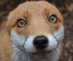 animal, fox, and cute image