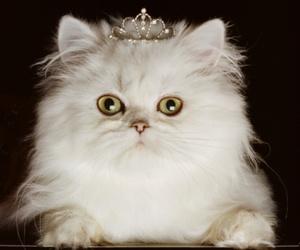 cat and princess image
